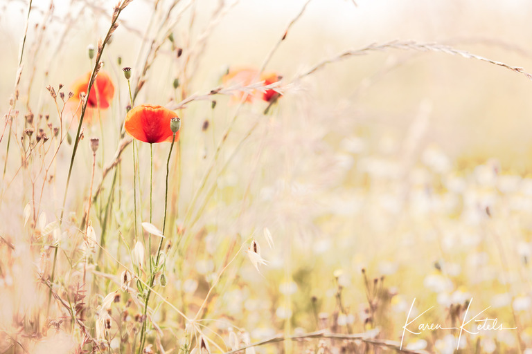 Poppies in the field. Impression of summertime by fine art photographer Karen Ketels