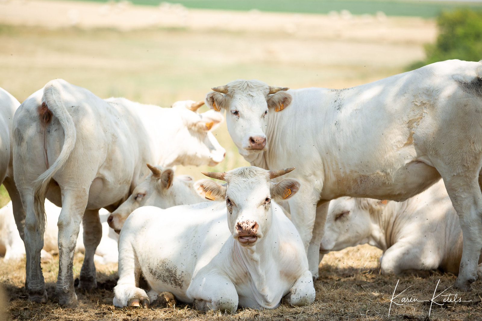 Portrait of white cows, sheltering in shadow in summer by Karen Ketels