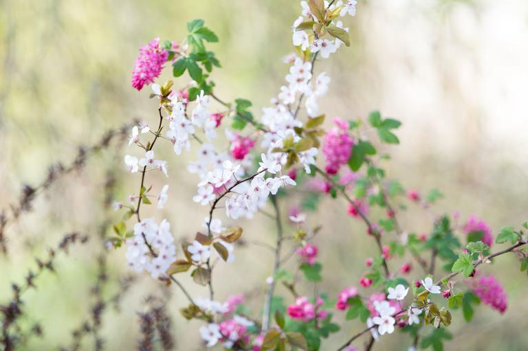 Roze en witte lentebloesemtakken - spring blossoms