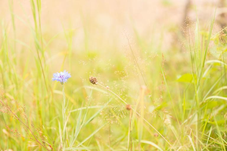 Blauwe korenbloem in fris groen gras - Centaurea