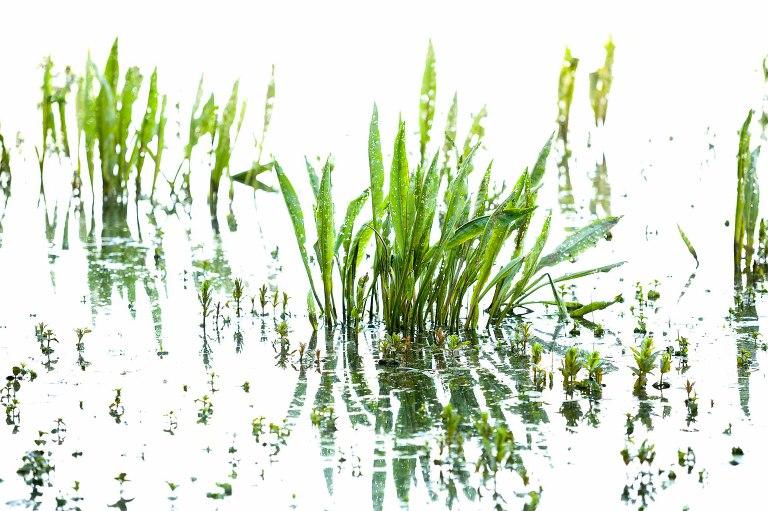 Fine-art beeld van waterplanten met hun weerspiegeling in het water. Fotograaf: Karen Ketels
