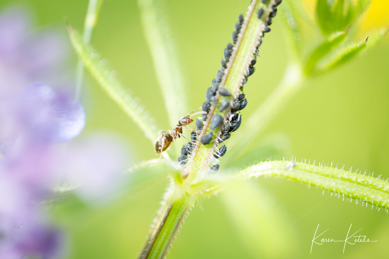 Macro photography of an ant with a colony of aphids by Karen Ketels