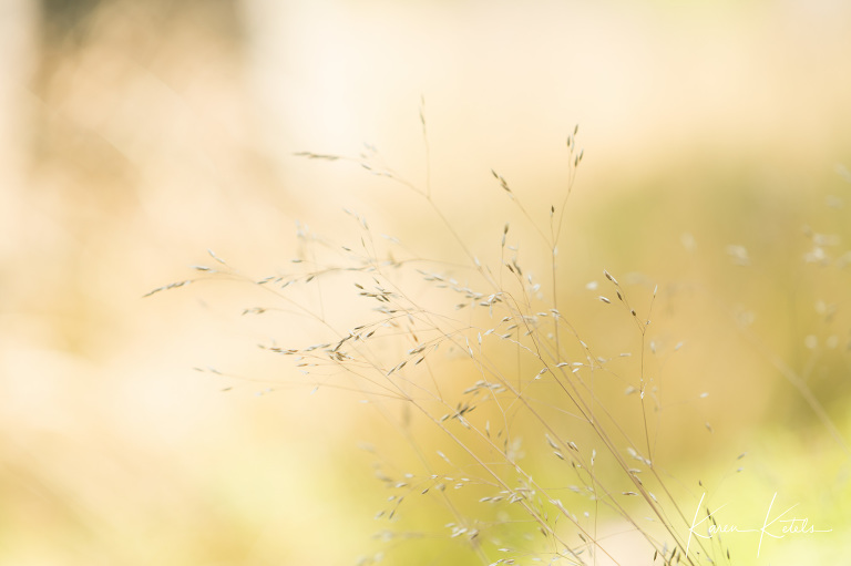 Fine art image of feather grasses by Karen Ketels