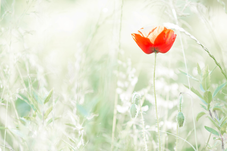 fine art beeld van een bloeiende papaver in het gras - fine art photography of a poppy blossoming in the grass