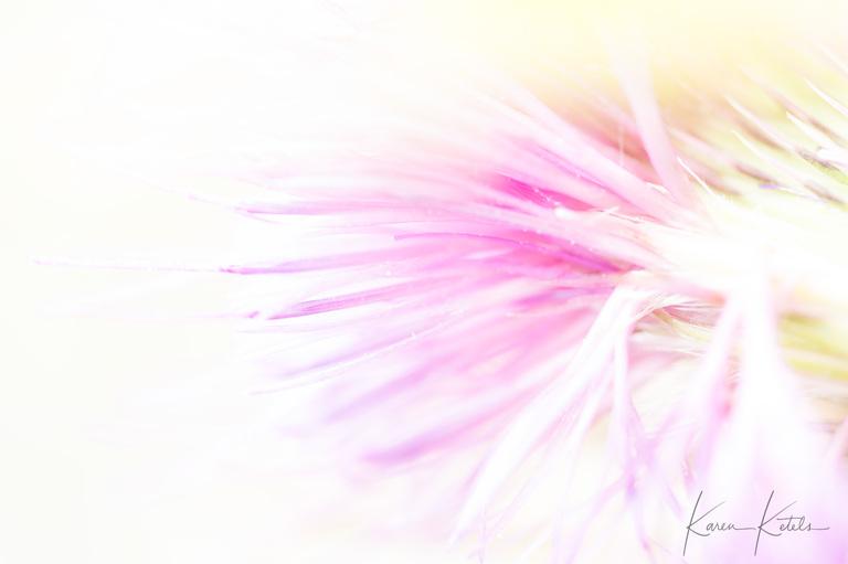 Fine-art photograph of a thistle by Karen Ketels
