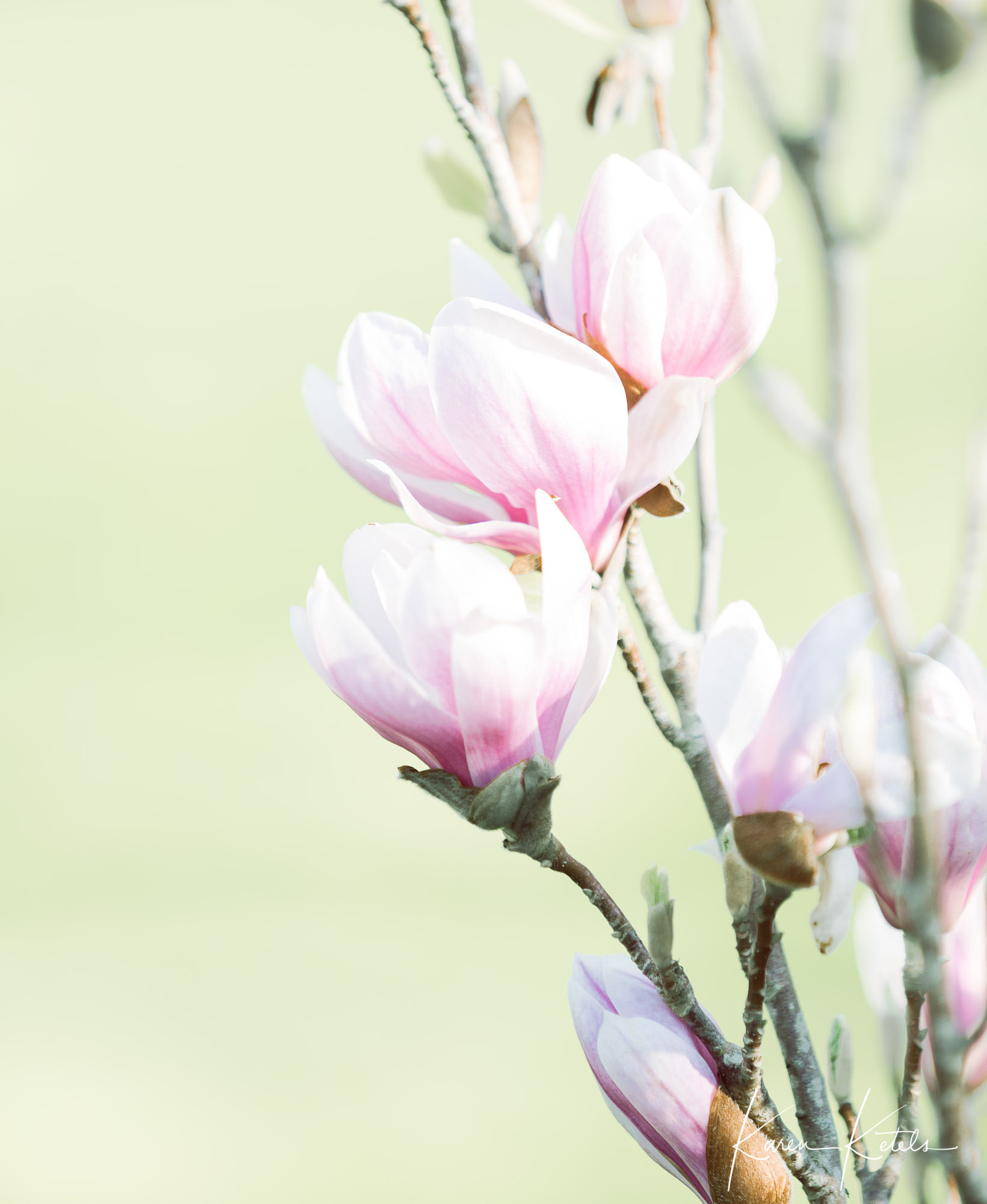 Fine Art image of magnoliaflowers by Karen Ketels
